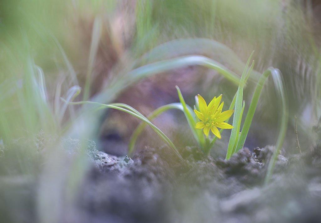Цветы,подснежник,желтый,холодно,весна,пасмурно,лес,мох,свет,листья,зеленые,коричневые,ранняя,весенний,красивые, Виктор