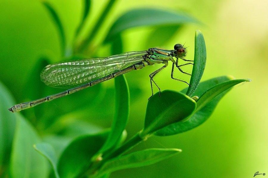 Dragonfly, Insect, Macro, Makro, Nature, Mariusz Oparski