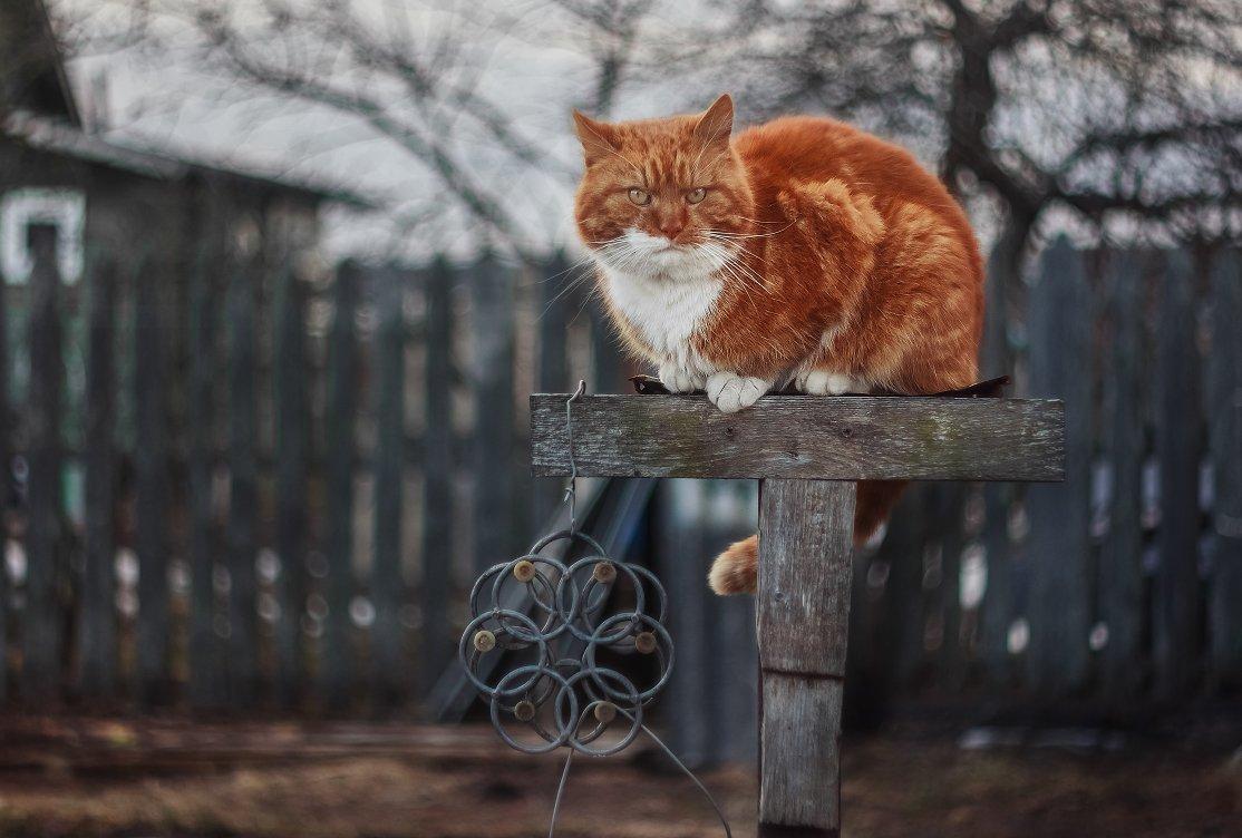 кот, рыжий, весна, боке, гелиос, Афиногенова Татьяна