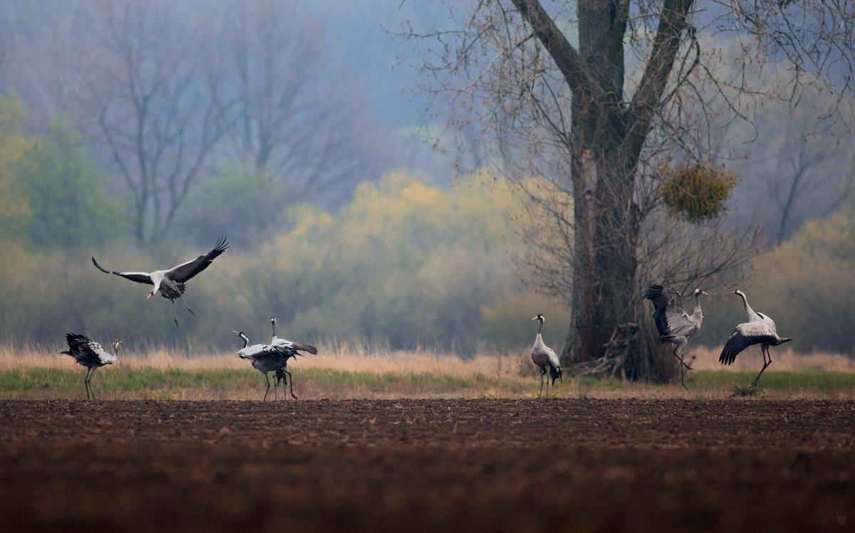 Common crane, wildlife, birds, Wojciech Grzanka