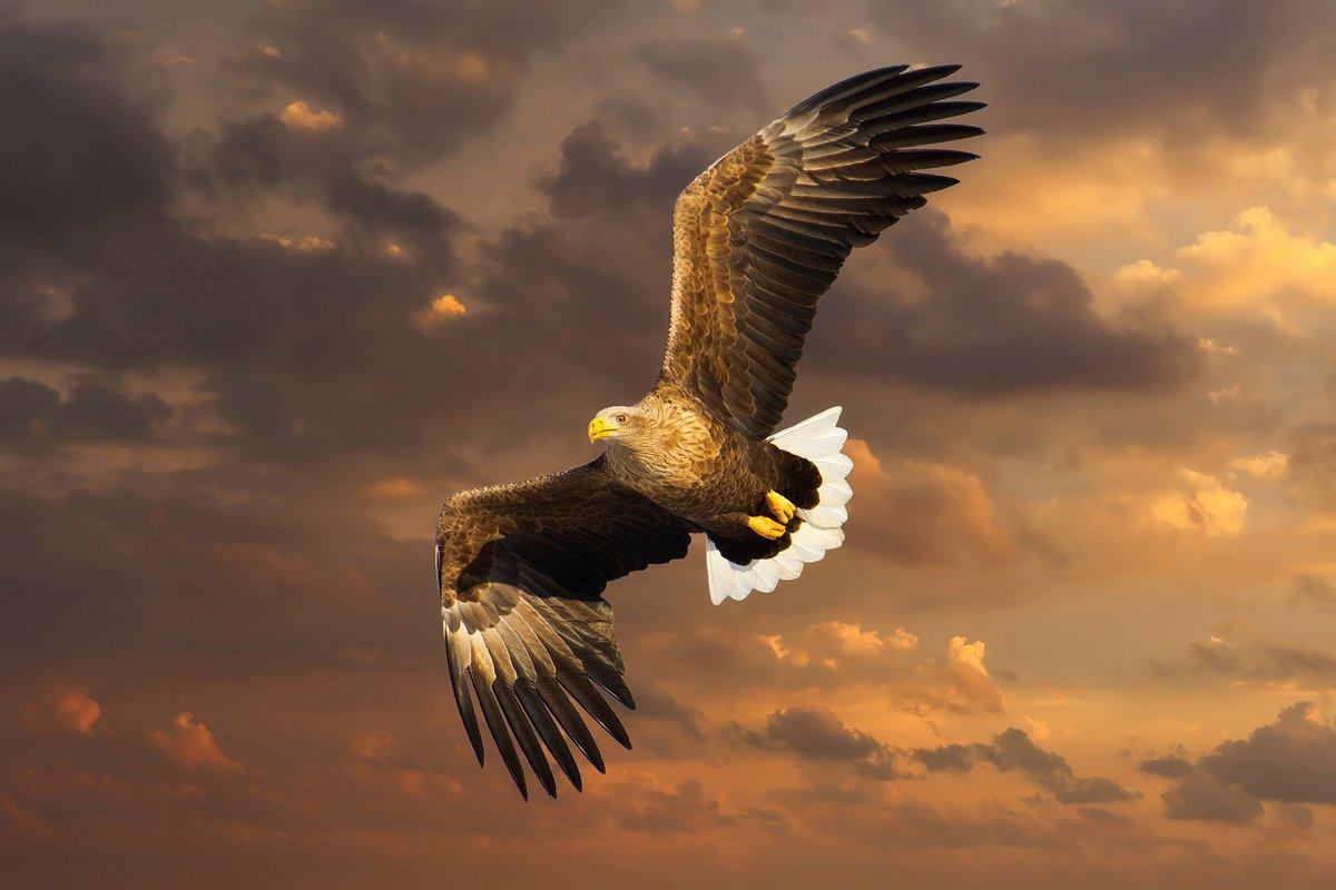 орлан, птицы, Slavado