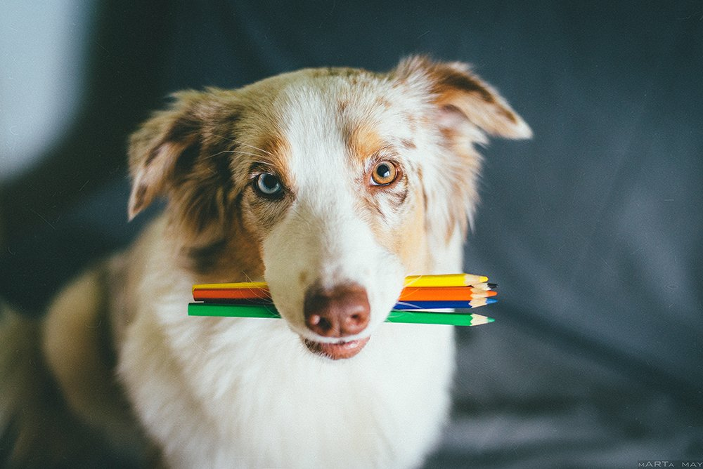 собака, карандаши, художник, австралийская овчарка, Марта Май