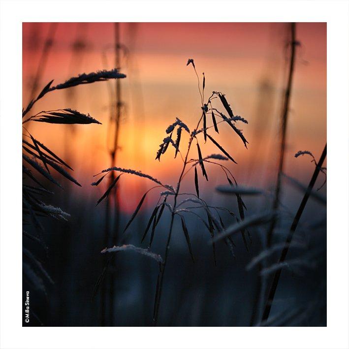 зима, закат, травы, луг, поле, Milla Sineva