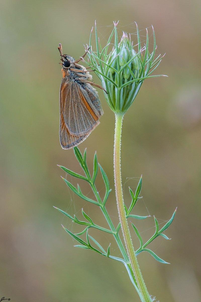 Butterfly, Insect, Macro, Makro, Nature, Wildlife, Mariusz Oparski