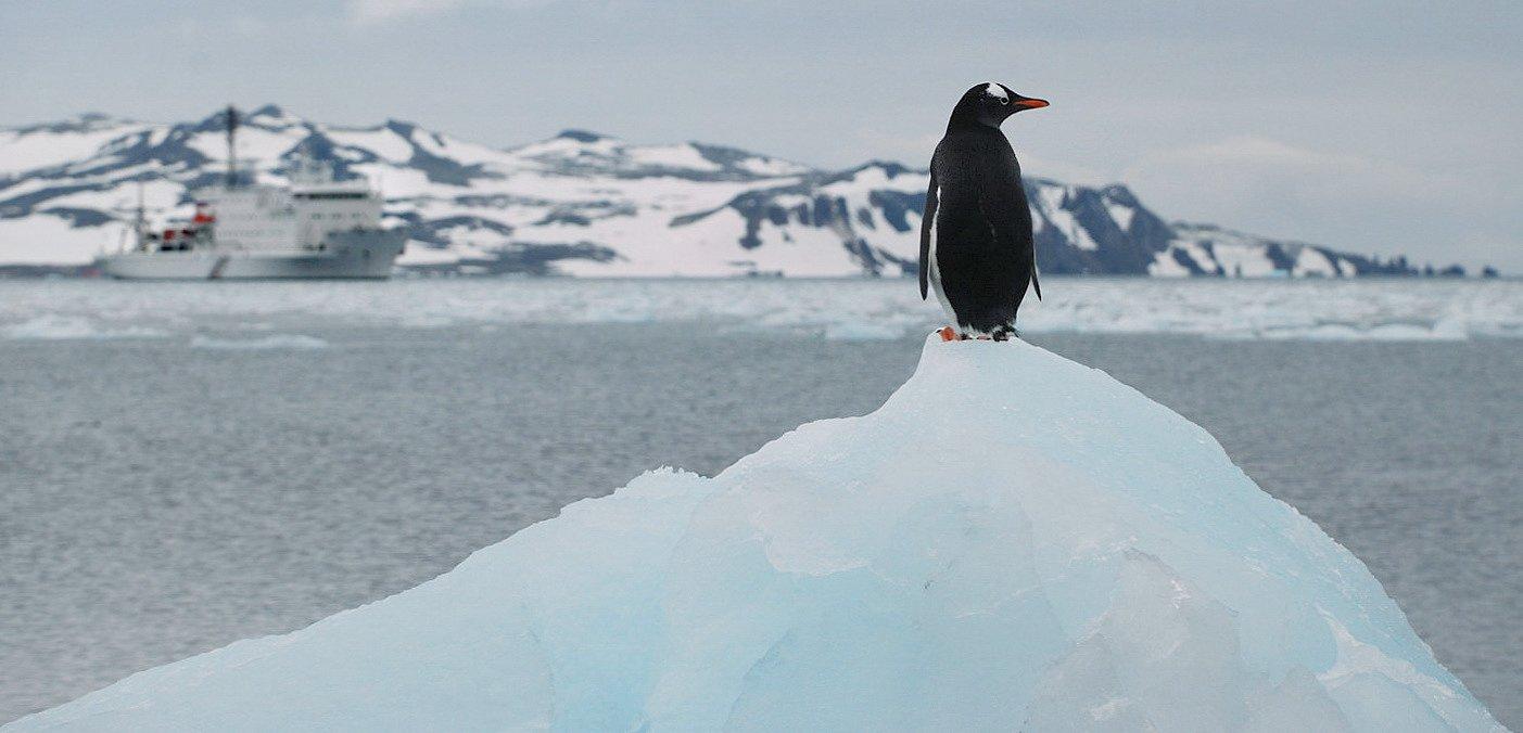 пингвин, антарктика, беллинсгаузен,, Руслан Елисеев