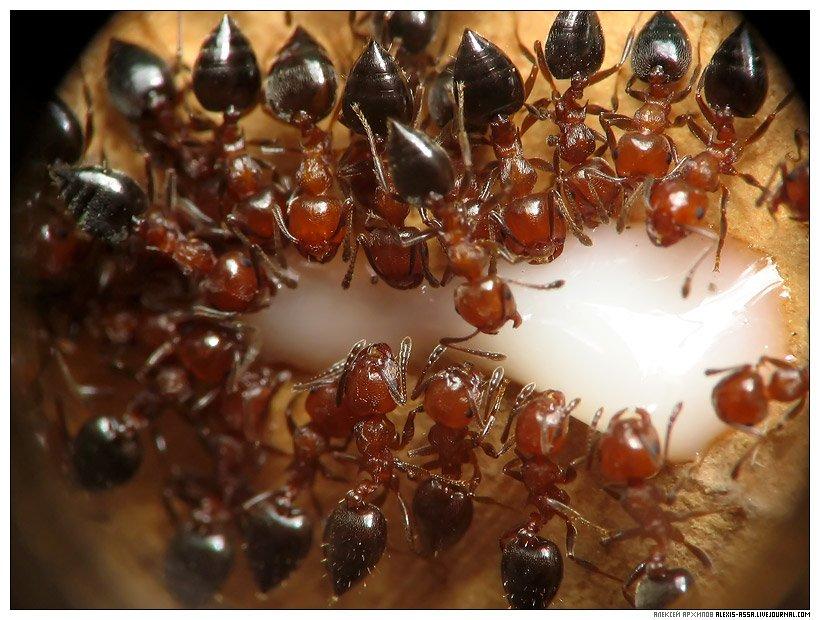 муравей, сгущенка, Alexis Assa