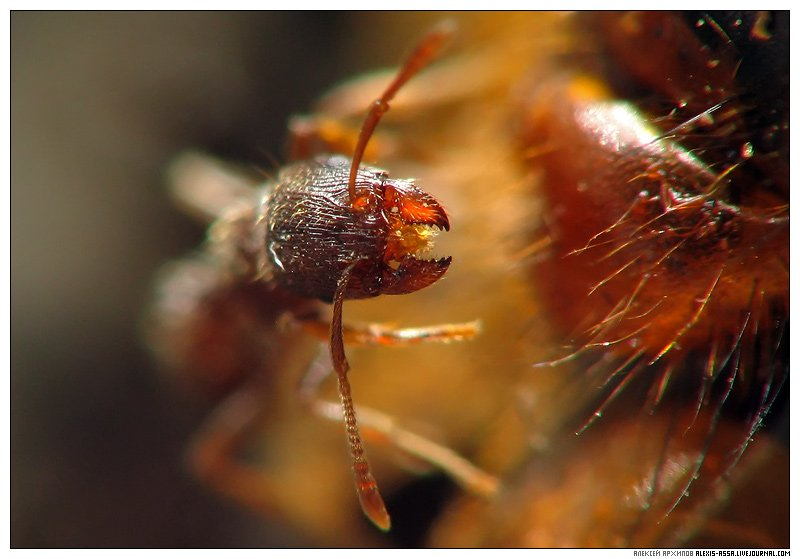 муравей, Alexis Assa