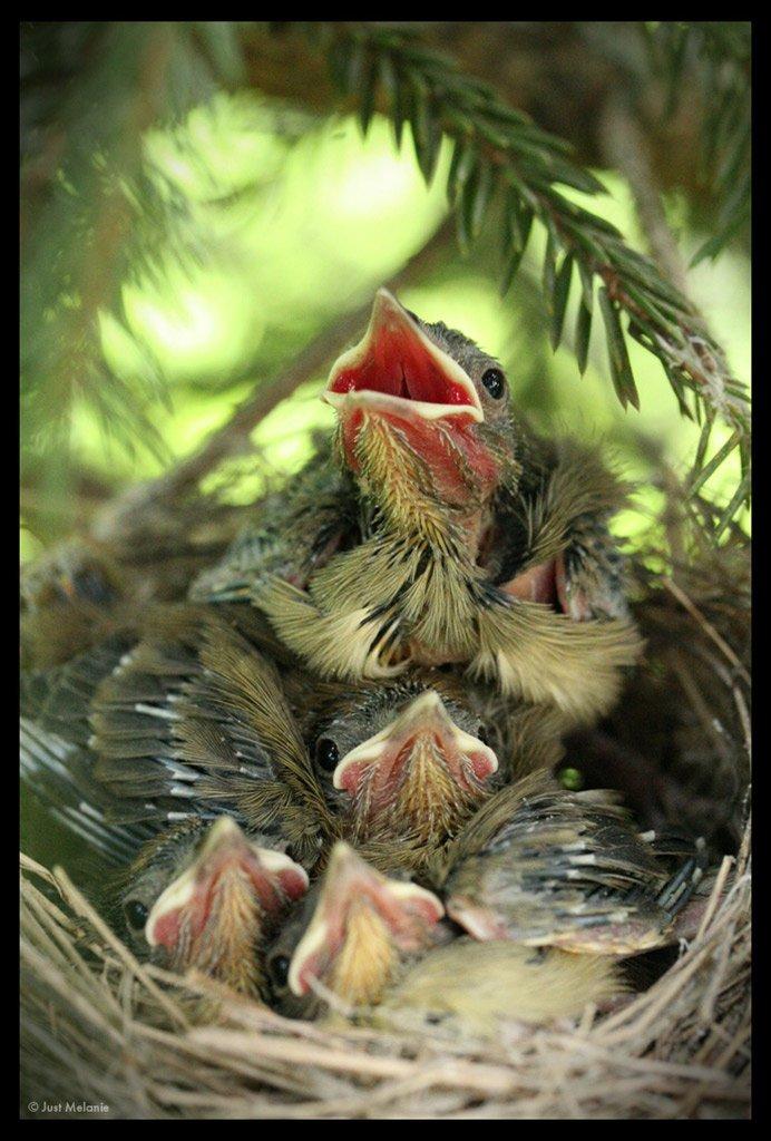 гнездо,птенцы,птицы, Just Melanie
