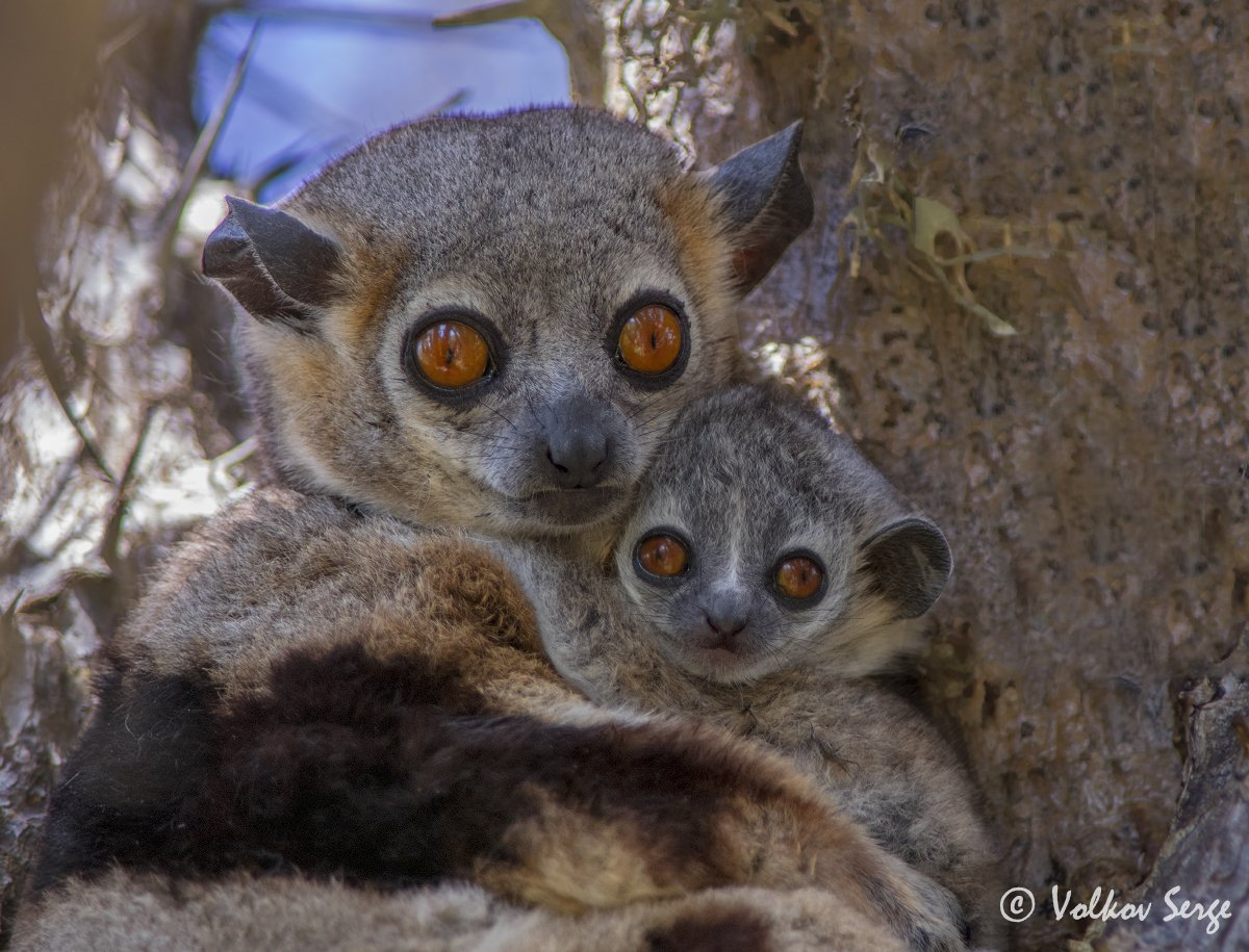 мадагаскар, лемуры, дикая природа, дикие животные, wildlife, фотоохота, Сергей Волков