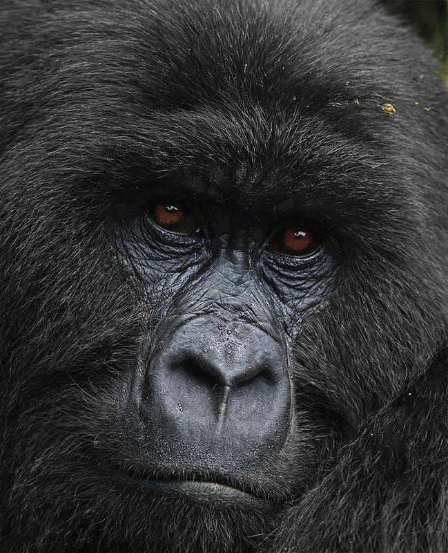 горная горилла, Gorilla beringei, Африка, Заир, Вирунга, дикие животные, дикая природа, фотоохота, Сергей Волков