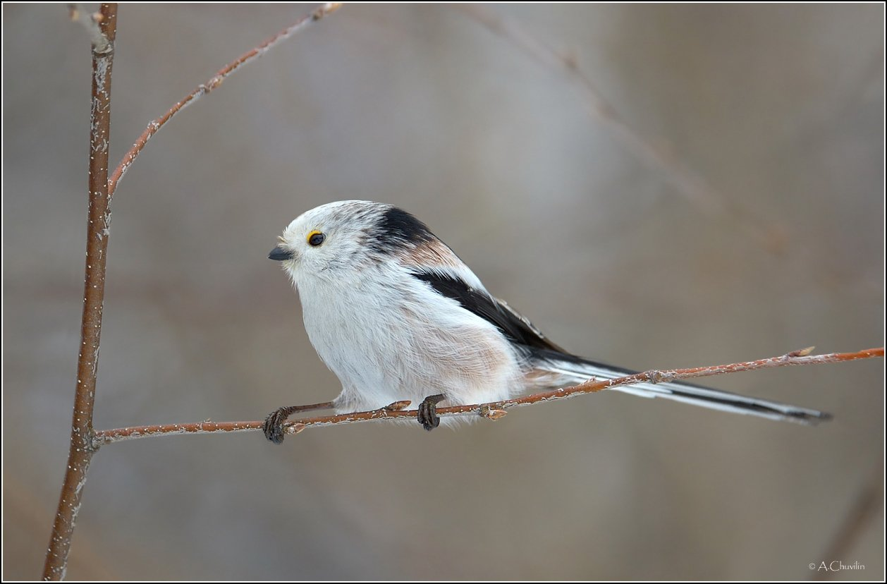 птица,ополовник,канатоходец, Александр Чувилин