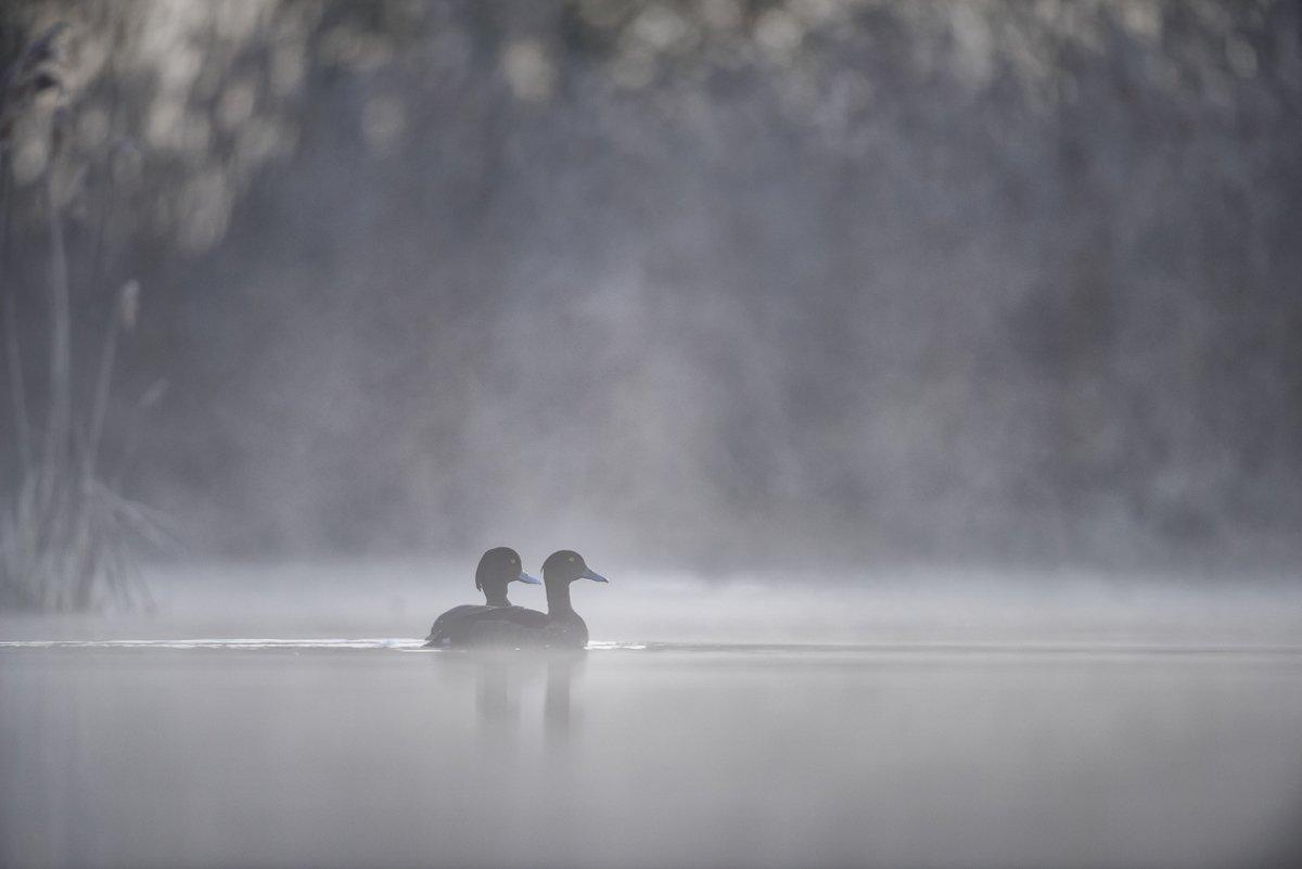 Tufted duck; Aythya fuligula; Birder's Corner; Birds, Dominik Chrzanowski
