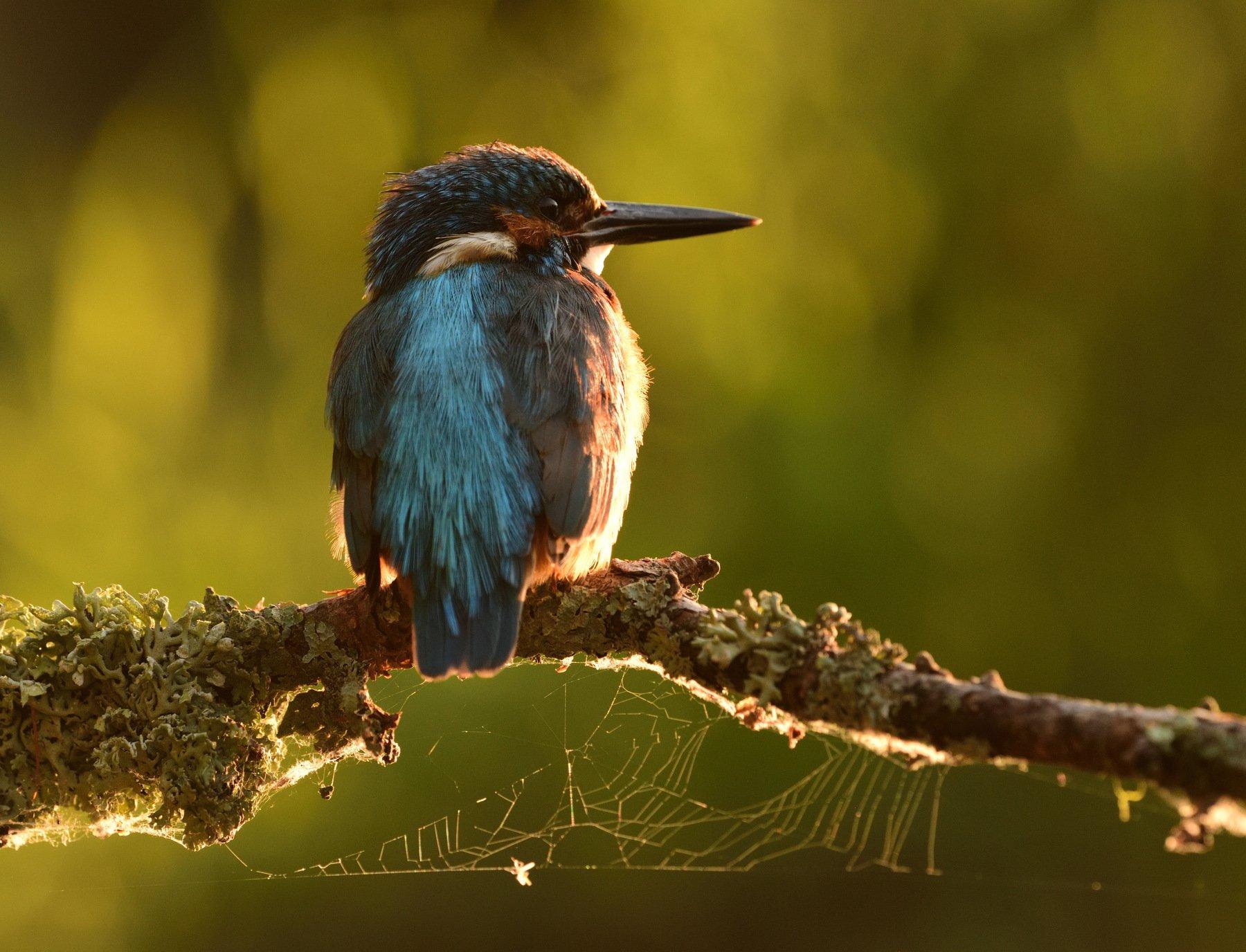 kingfisher, зимородок, река урал, Владимир Ежов