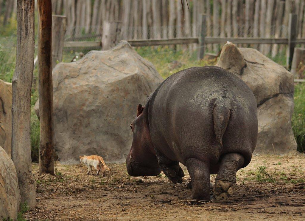 бегемот, кот, животные, зоопарк, Rita Gadar