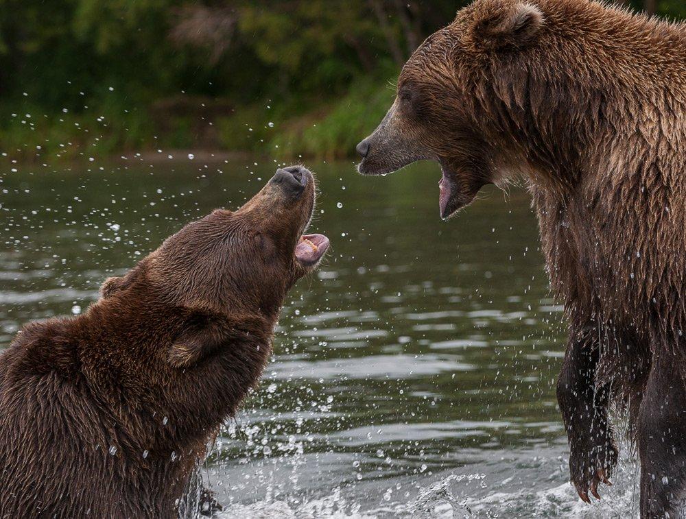 бурый медведь, Сергей Иванов