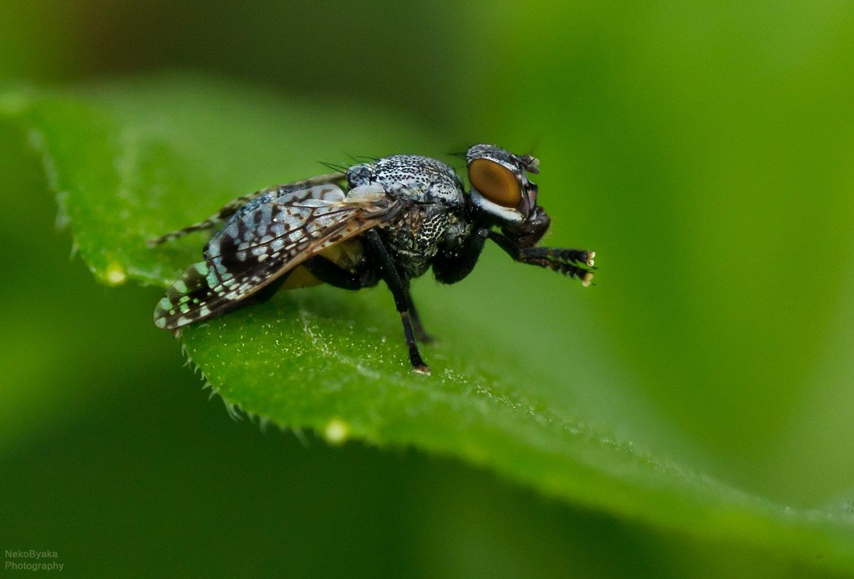макро, насекомые, природа, муха, macro, insects, nature, fly, Тараненко Анжелика