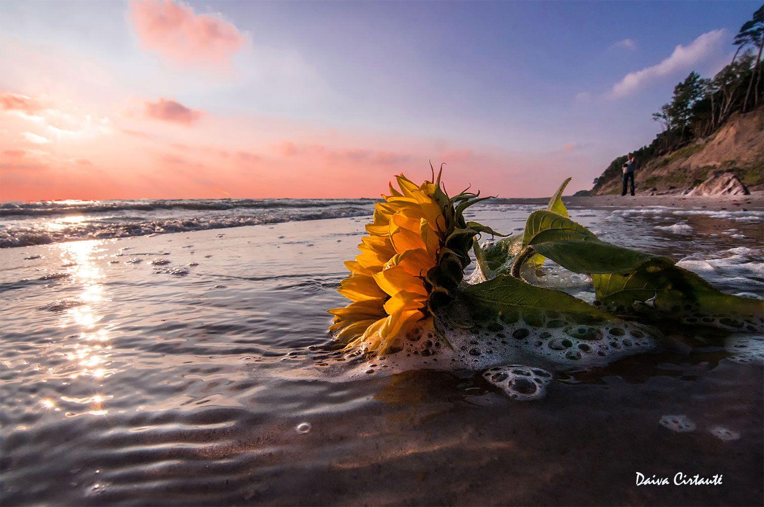 sunflower,sunset,sea,seascape, Daiva Cirtautė
