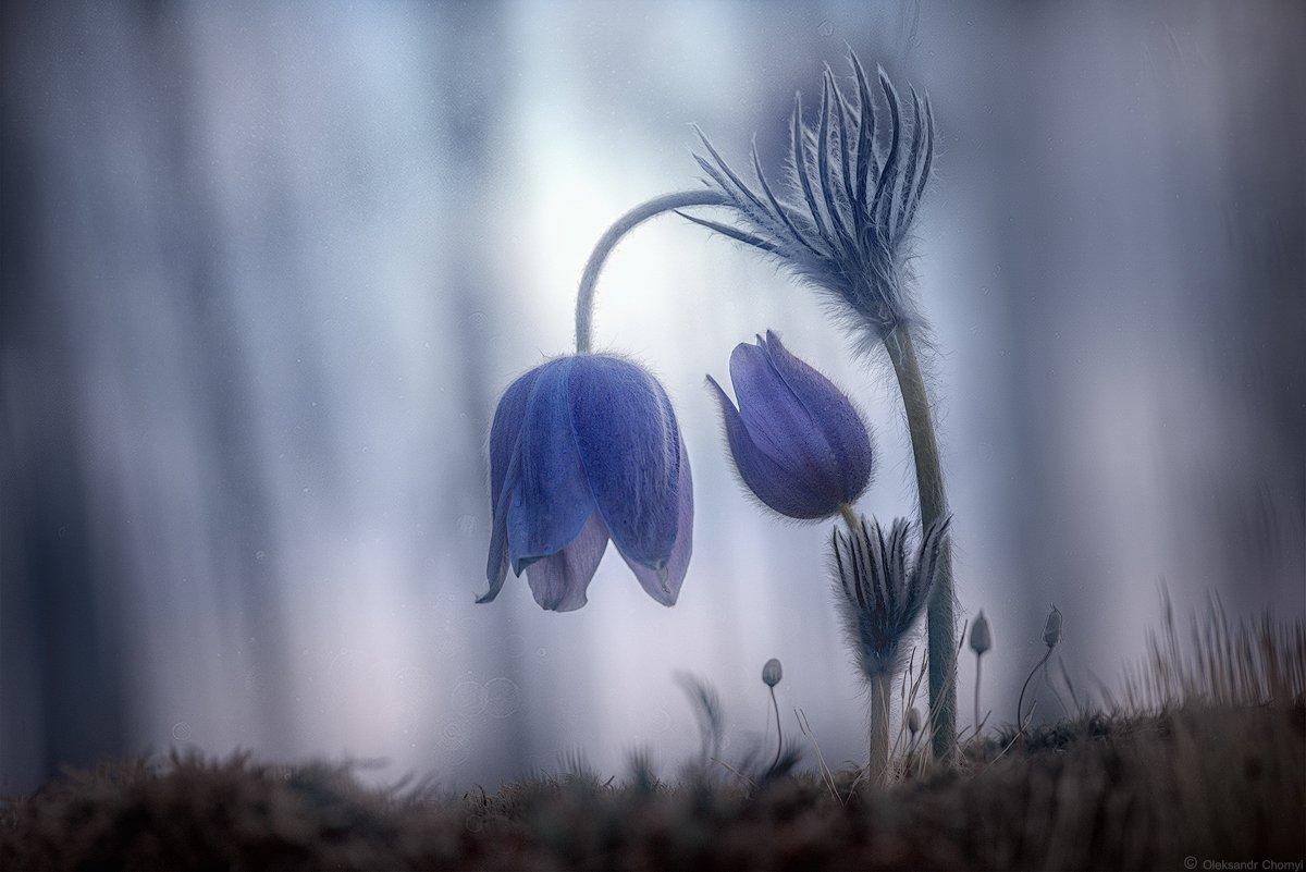 украина, коростышев, весна, лес, красота, макро, макро мир, природа, макро-красота,  сон трава, нежность,, Александр Чорный