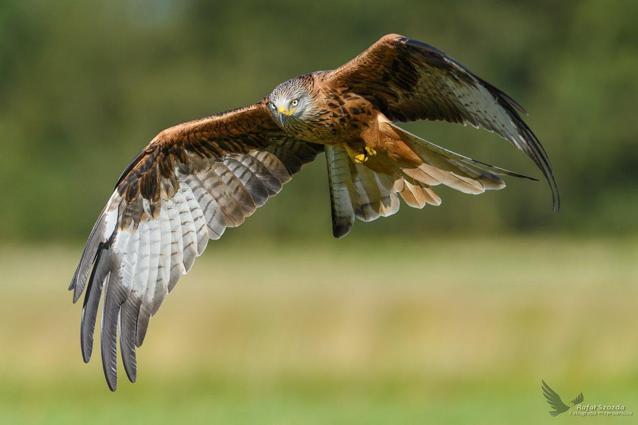 birds, nature, animals, wildlife, colors, autumn, flight, fight, green, meadow, nikon, nikkor, lens, lubuskie, poland, Rafał Szozda