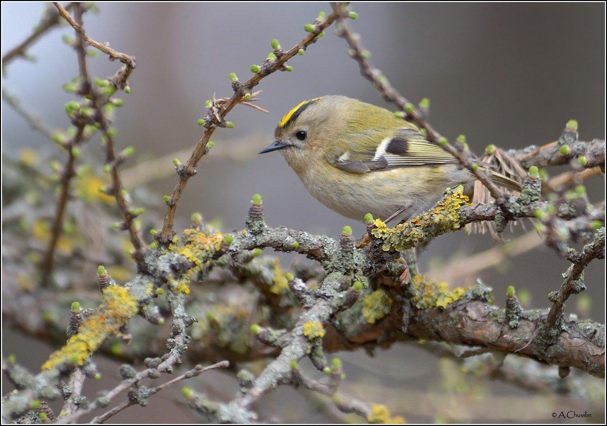 птица,королёк,апрель, Александр Чувилин
