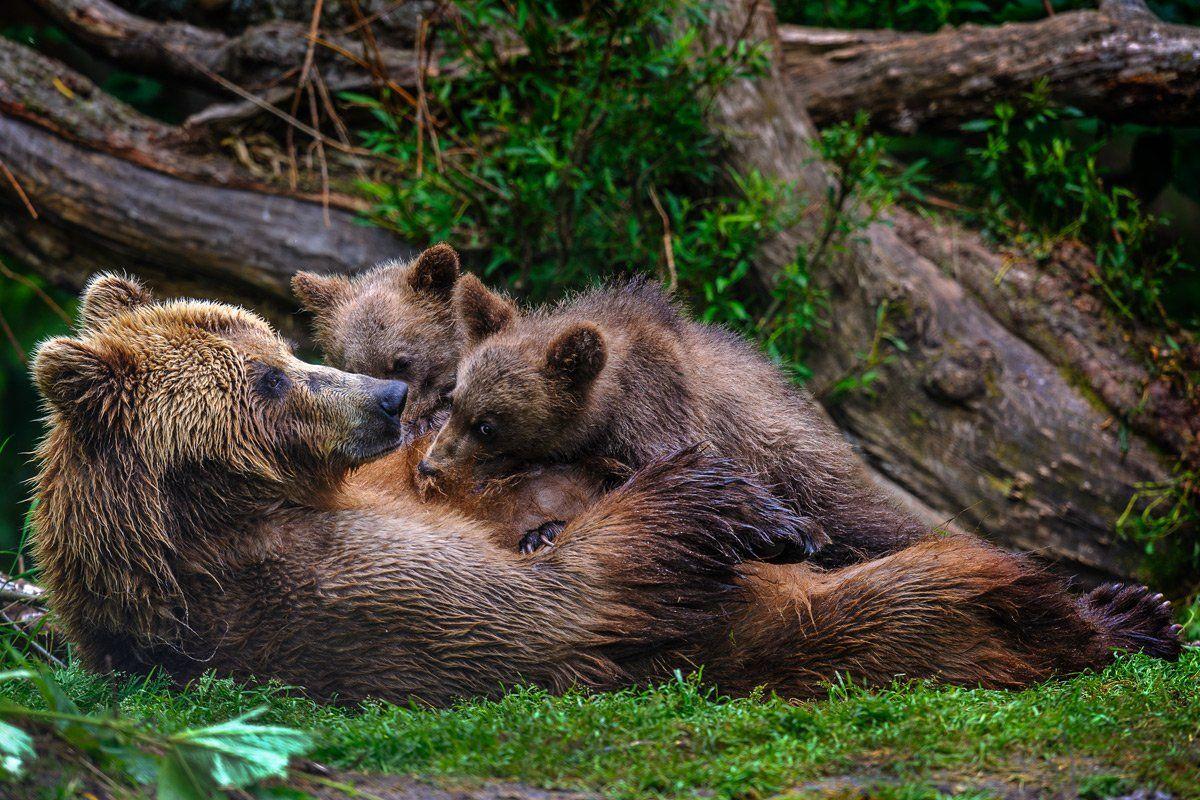 бурый медведь,камчатка, сергей иванов, южно-камчатский заказник, Сергей Иванов