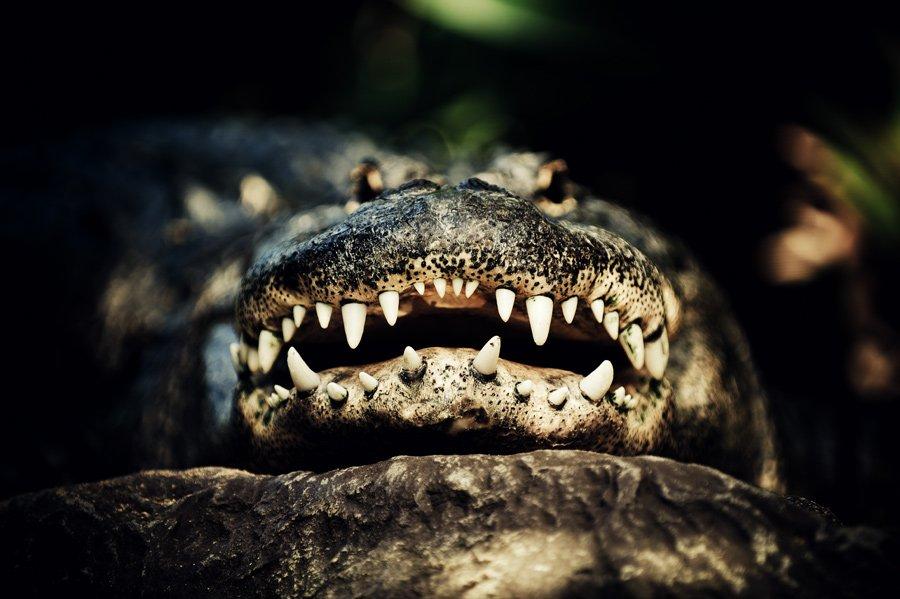крокодил, глаза, зубы, лора, Konstantin Maskalenko