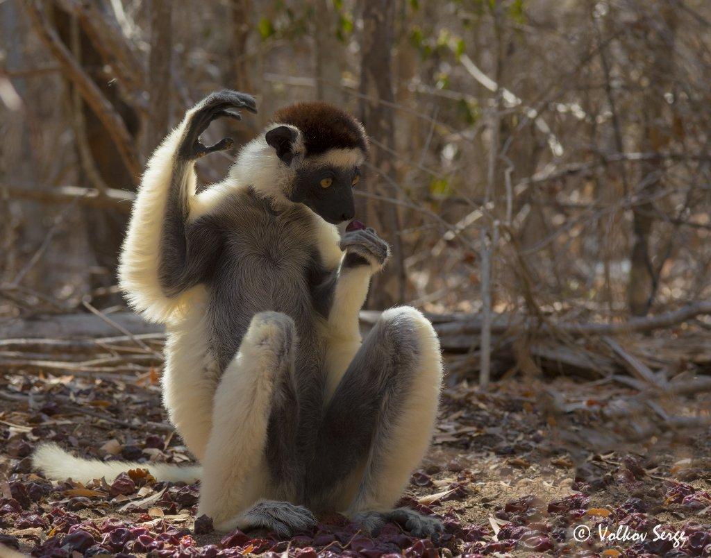 хохлатый сифака, propithecus verreauxi, мадагаскар, животный мир, дикая природа, приматы, лемуры, Сергей Волков