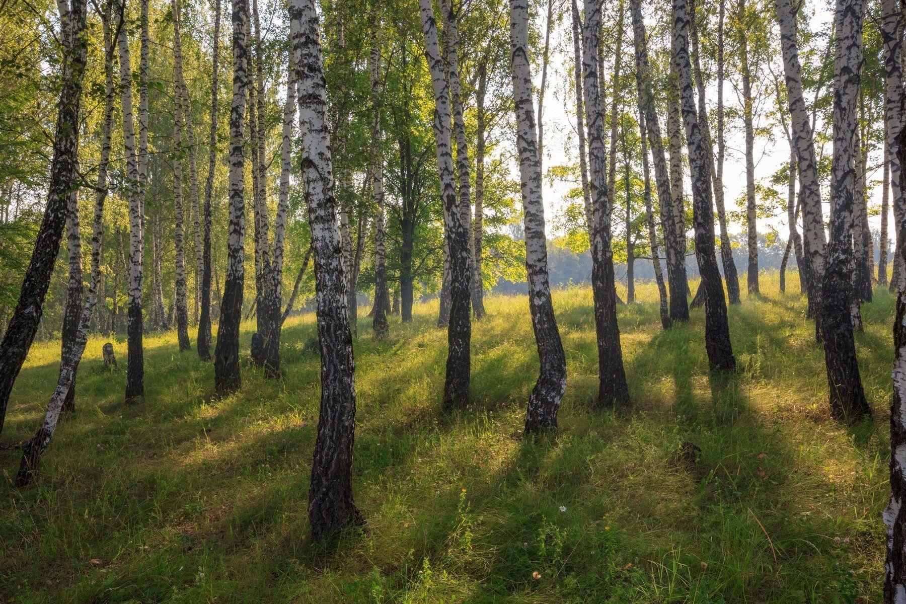 birch, grove,forest,morning,rays,fog,sun,summer,grass,, Дулов Валерий