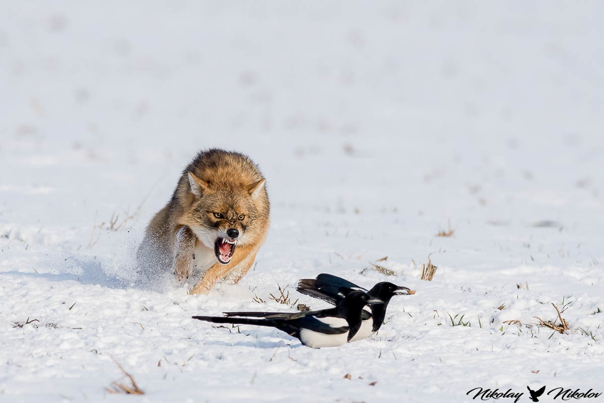 jackal,winter,snow,wildlife,landscape,run,action,fury,range,run, Nikolay Nikolov