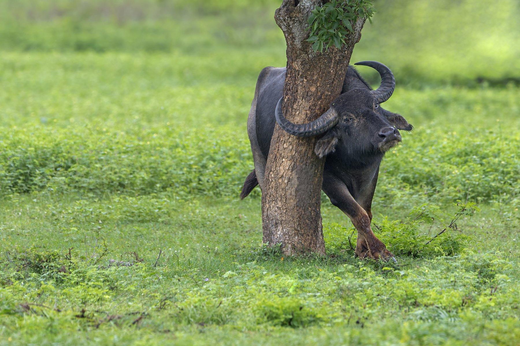 buffalo, srilanka, yala, nikon, Ajith Everester