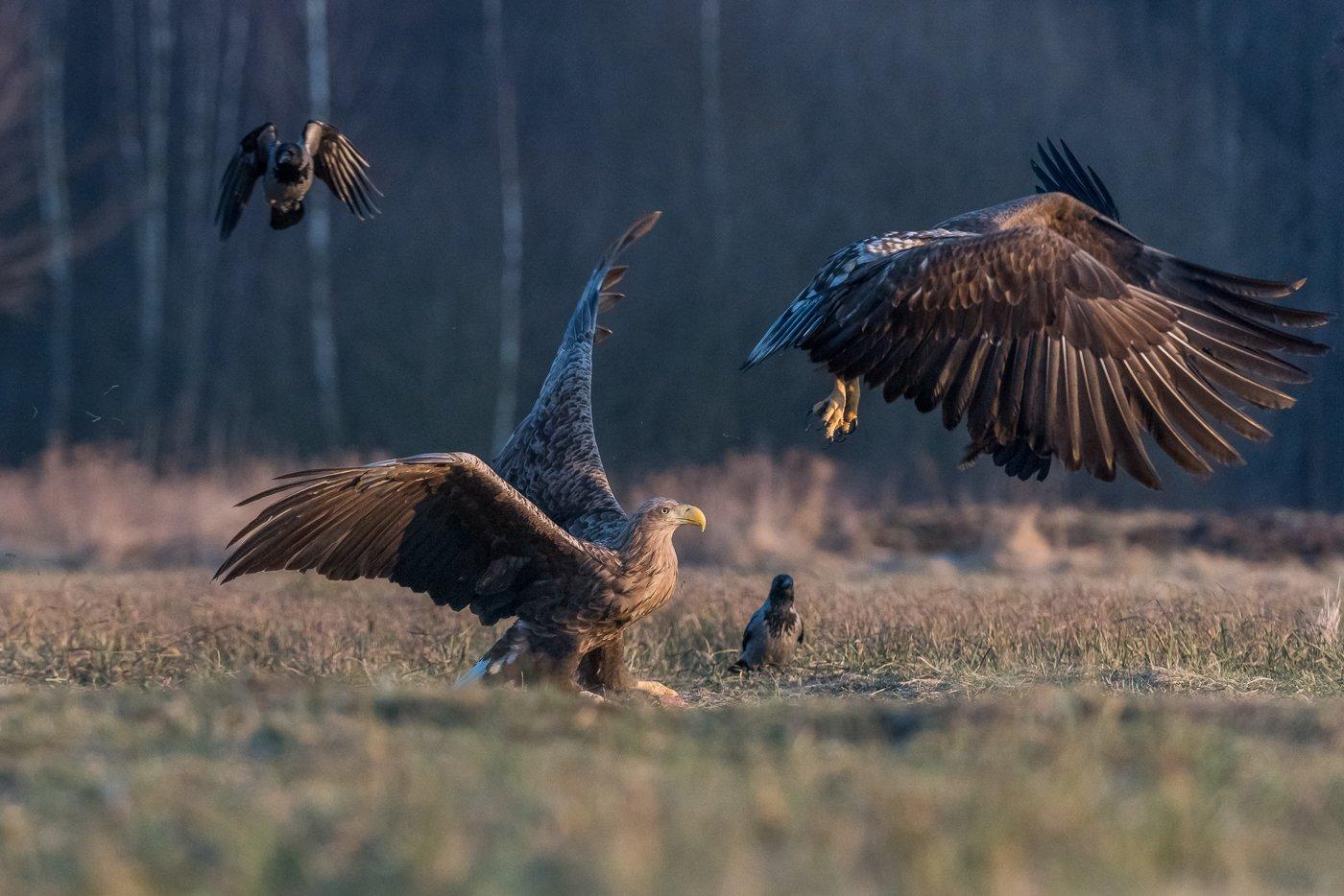 Orzeł bielik, Haliaeetus albicilla, bielik zwyczajny, White-tailed Sea Eagle, Sea Eagle, Dominik Chrzanowski