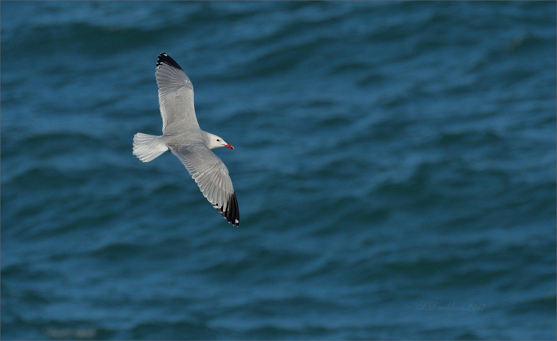 чайка, весна, птицы, фауна, море, Sergey Drobkov