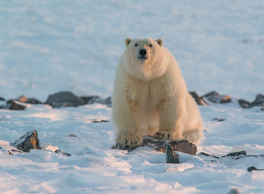 чукотка арктика кожевников медведь морской белый полярный умка, Максим Деминов