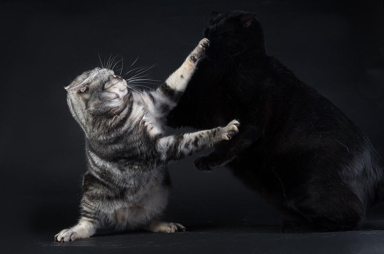 маркиз, кузя,  кот,черный кот,сat, животные, кошки,американский короткошерстный кот, american shorthair cat,black cat, Elizabeth E