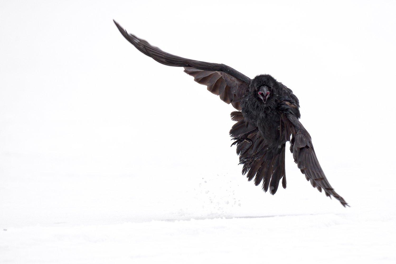 raven, черный ворон, Igor Shilokhvost