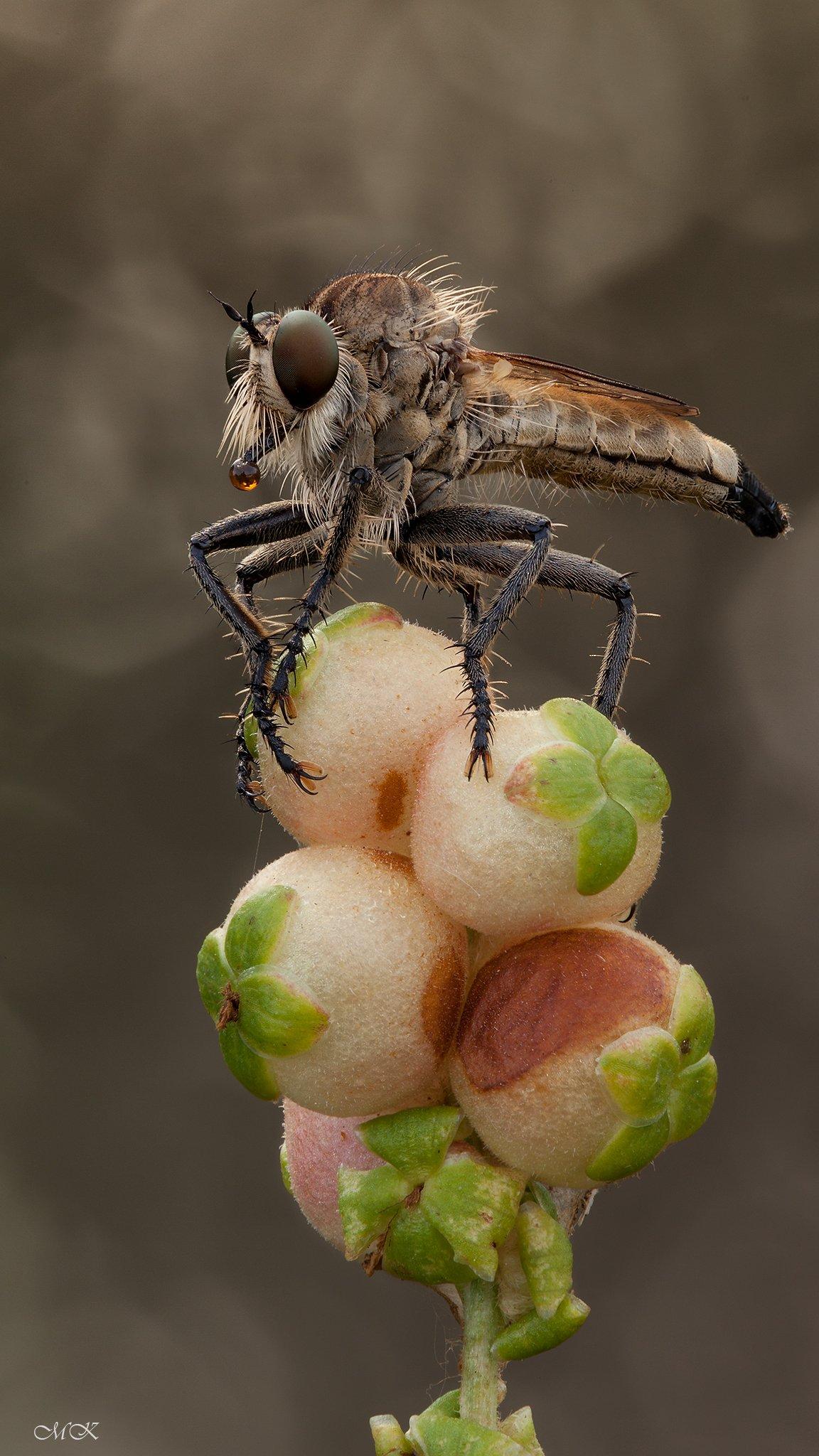 ктырь, asilidae, robber fly, Miron Karlinsky