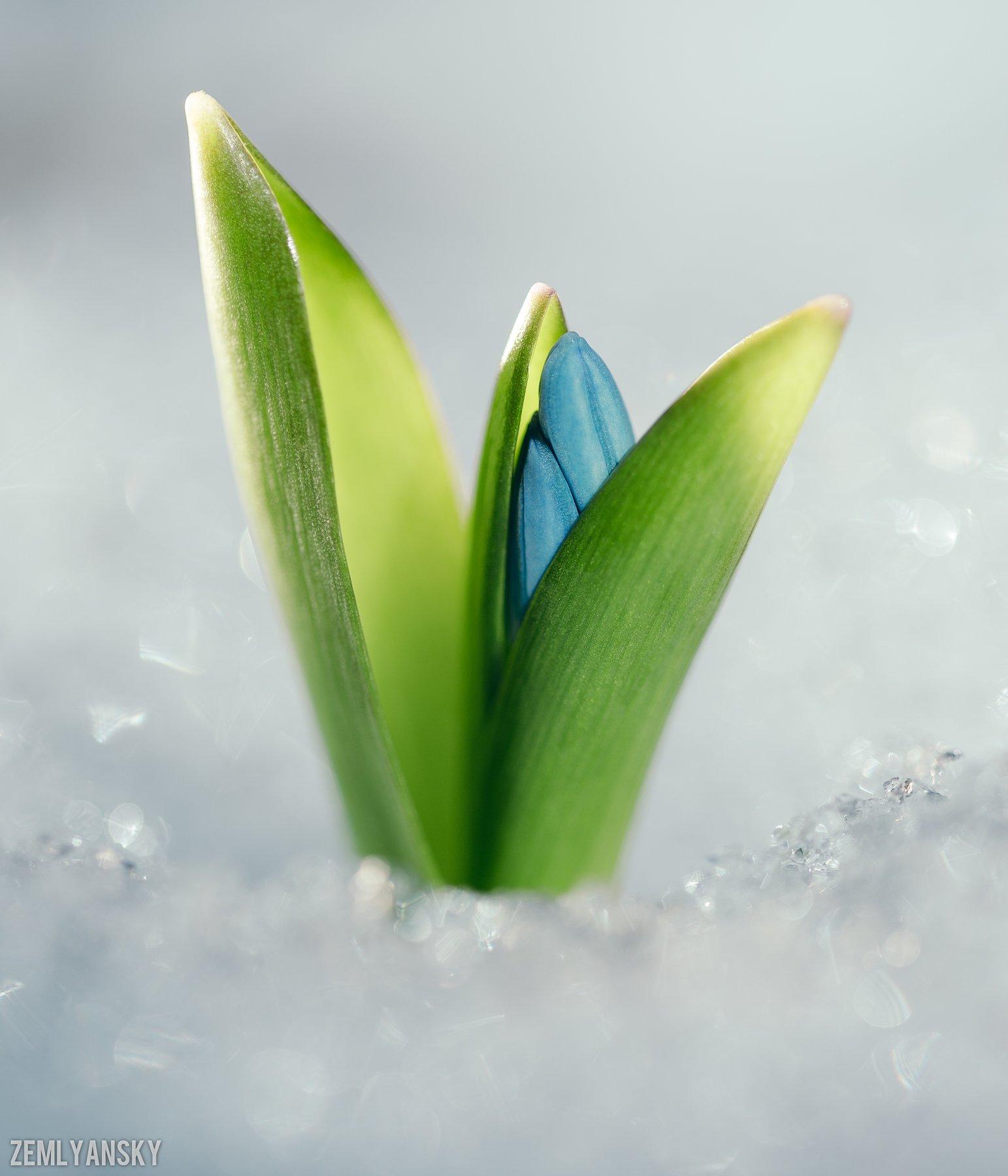 Макро, Пролеска,  Весна, Голубой, Снег, Цветы, Михаил Землянский