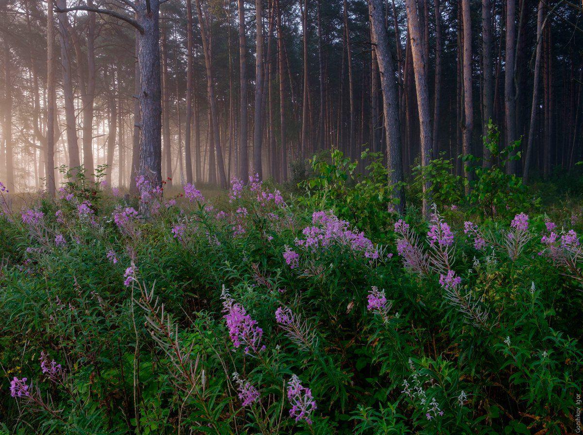 лето,туман,лес,природа,пейзаж,деревья,стволысосны,утро,рассвет,таинственность, кипрей,иван-чай,цветы,суходрев, Горшков Игорь