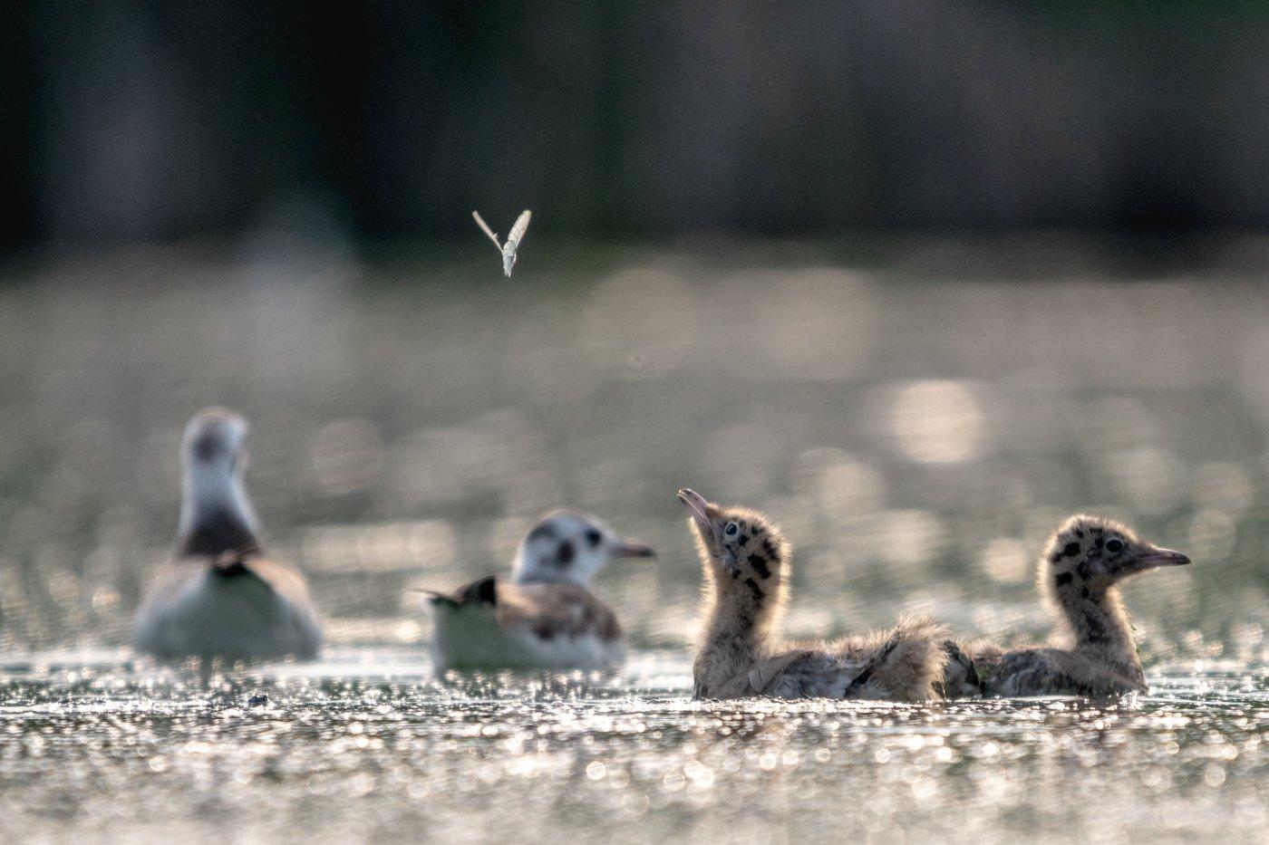птенец, озерная чайка, бабочка, Дмитрий Дубиковский