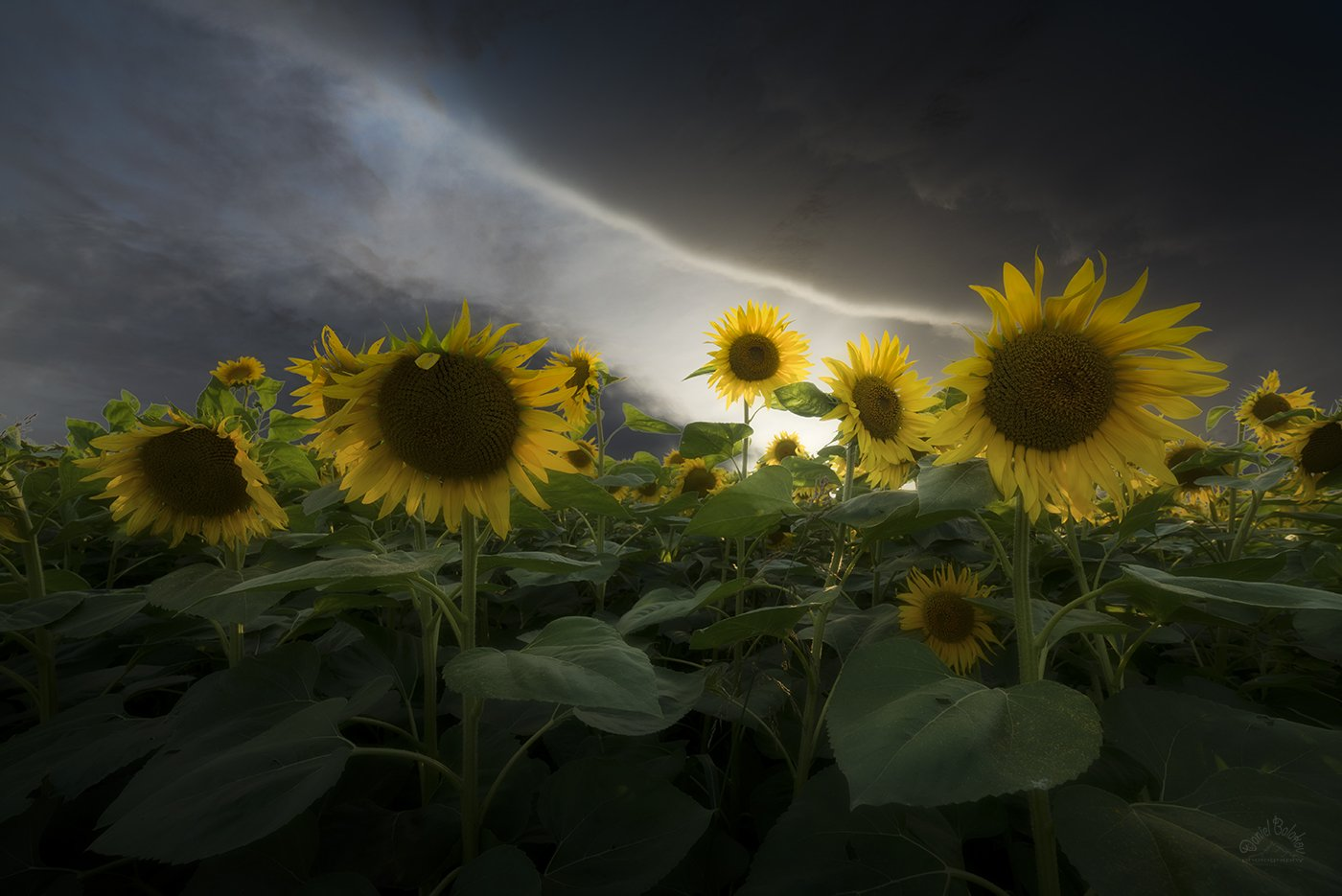 sunflowers, Даниел Балъков