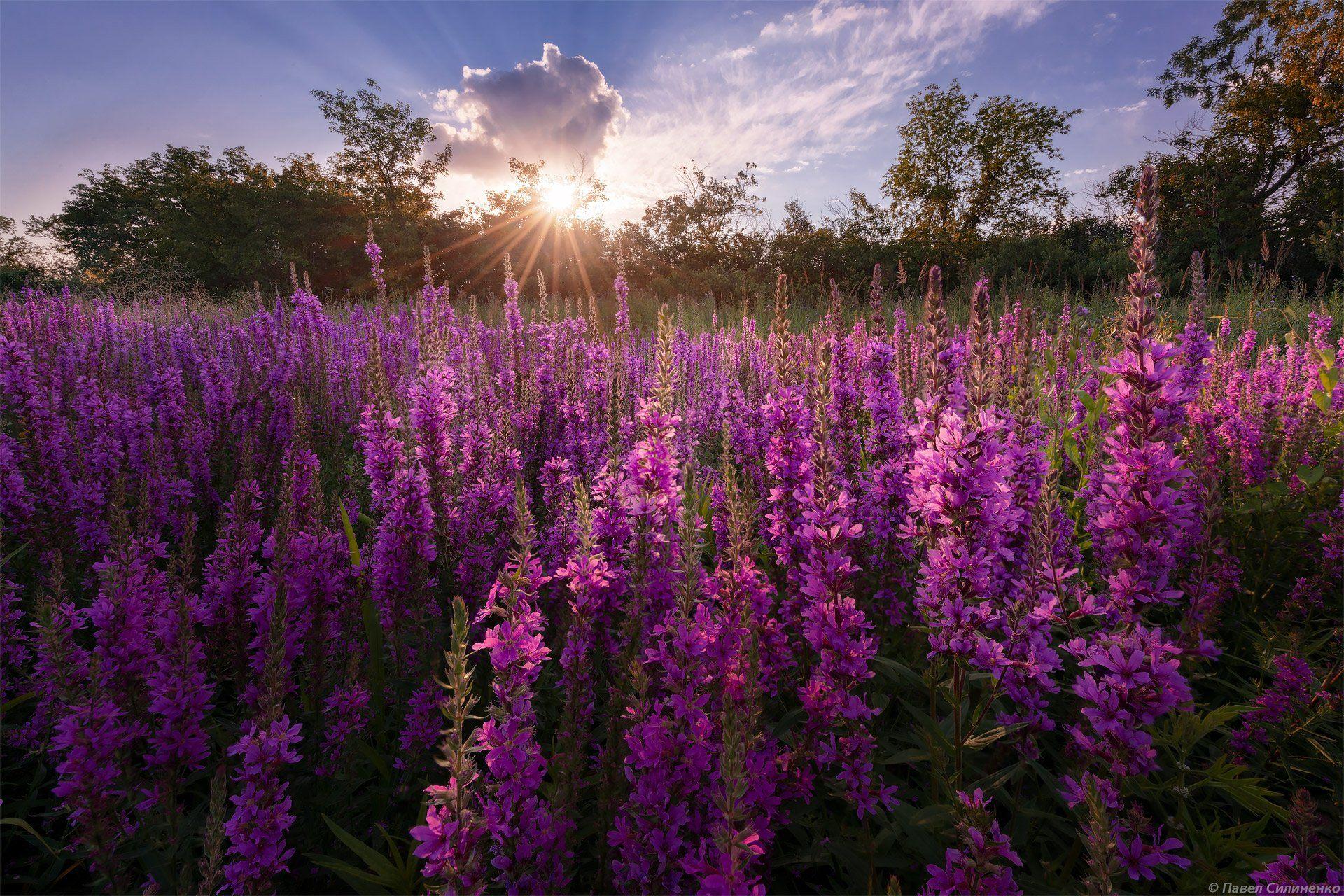 пейзаж, цветы, закат, солнце, цвет, лучи, луг, лето, Павел Силиненко