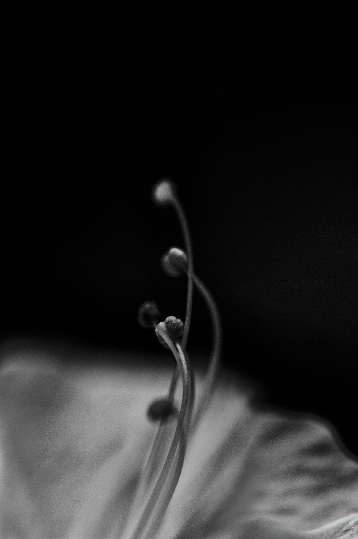 a white and black rose, M jalili