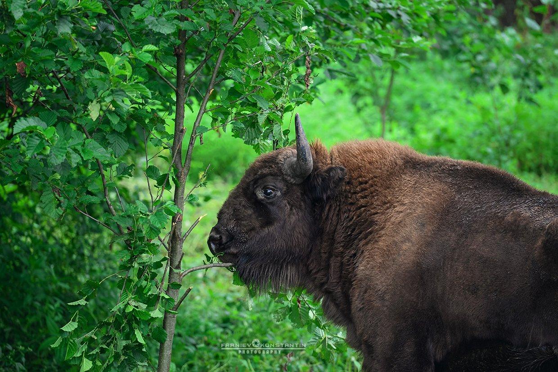 ossetia, caucasus, bison, зубр, бизон, Осетия, Северная Осетия, , Константин Фарниев