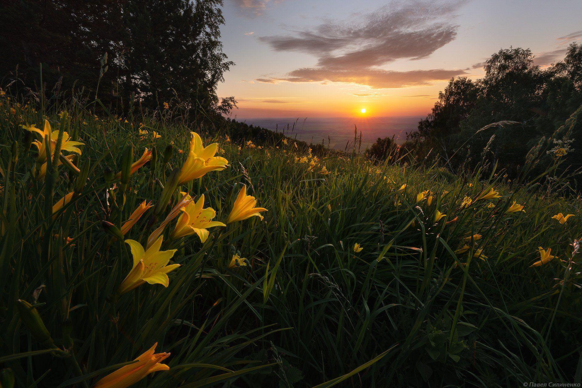 пейзаж, восход, цветы, лилии, цвет, алтай, Павел Силиненко