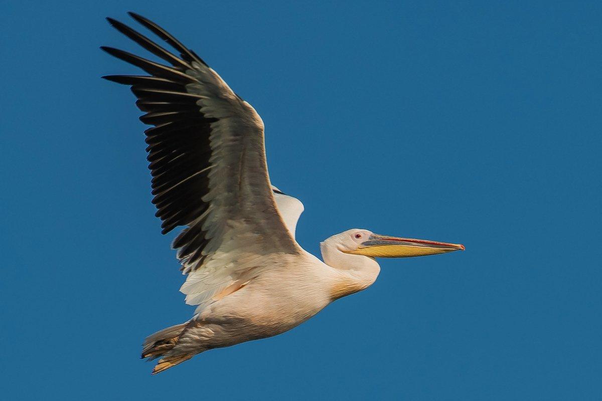 розовый пеликан, Александр Маркелов