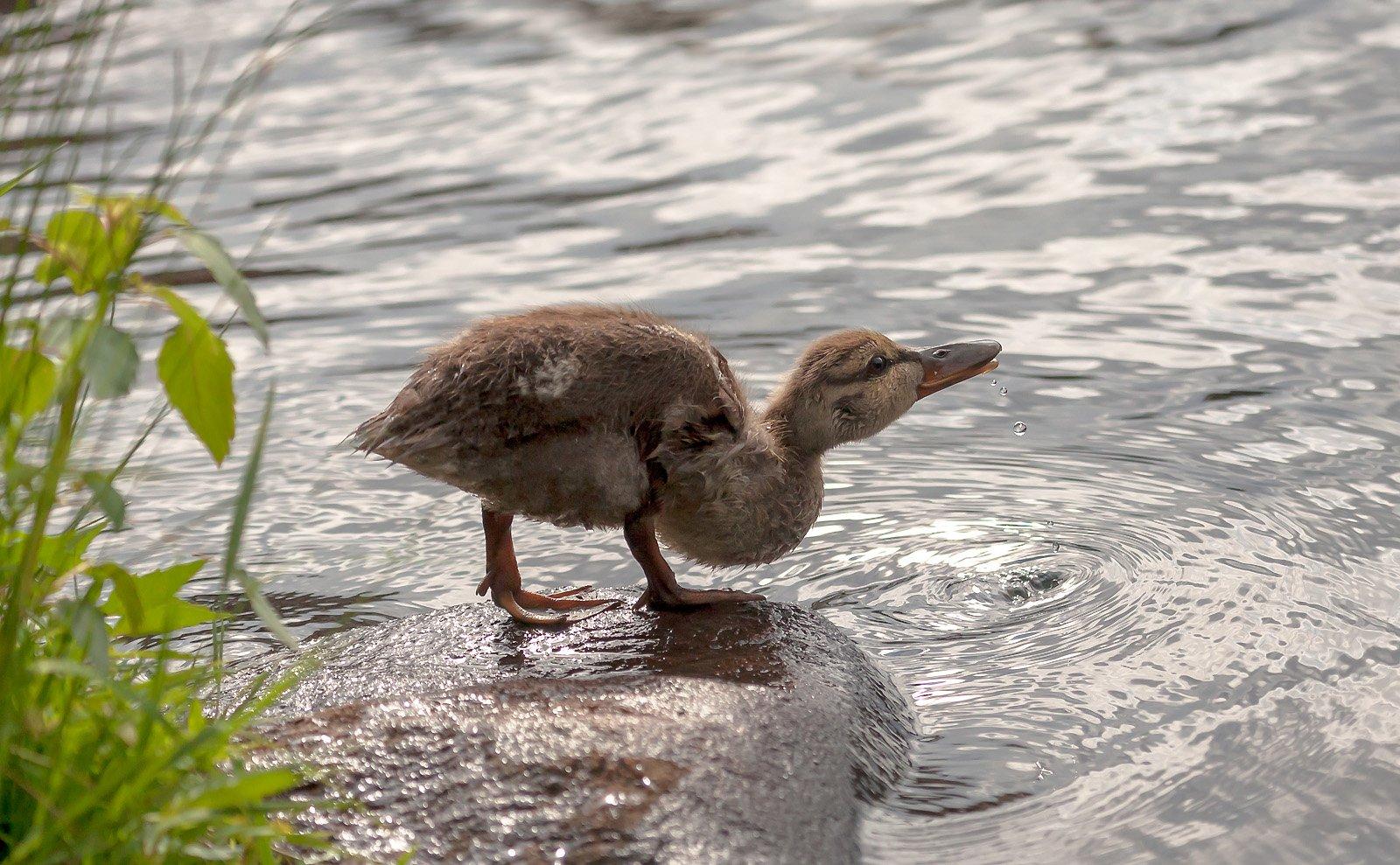 животные,птицы,природа,фауна,весна,фотоохота,утки,вода,birds,капли,animals,, Антонина Яновска