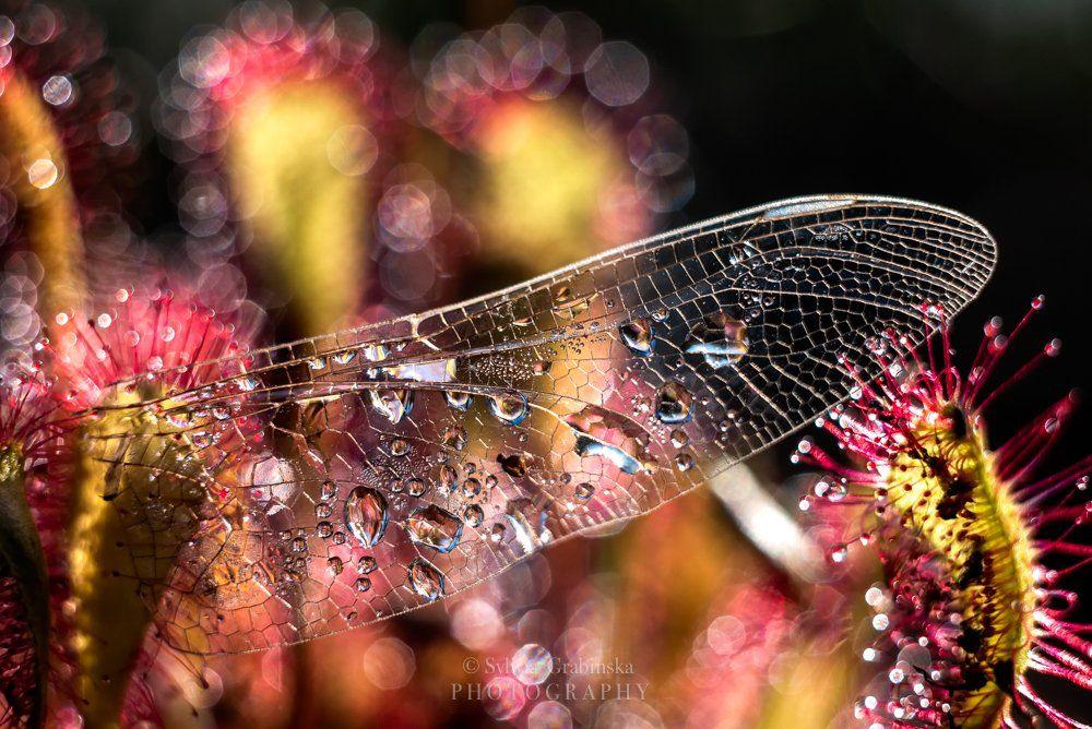 sundew, plants, macro, helios, 58mm, nature, wing,, Sylwia Grabinska