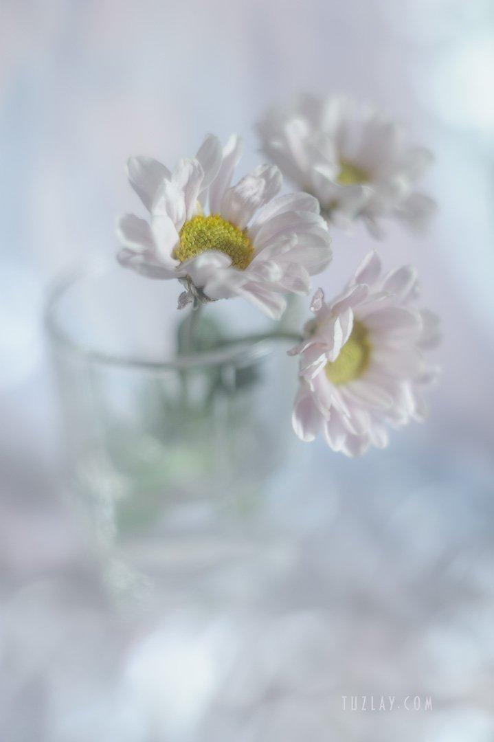 хризантемы, розовый цветок, розовые тона, лето в стакане, астры в стакане, гелиос 44-2, Владимир Тузлай