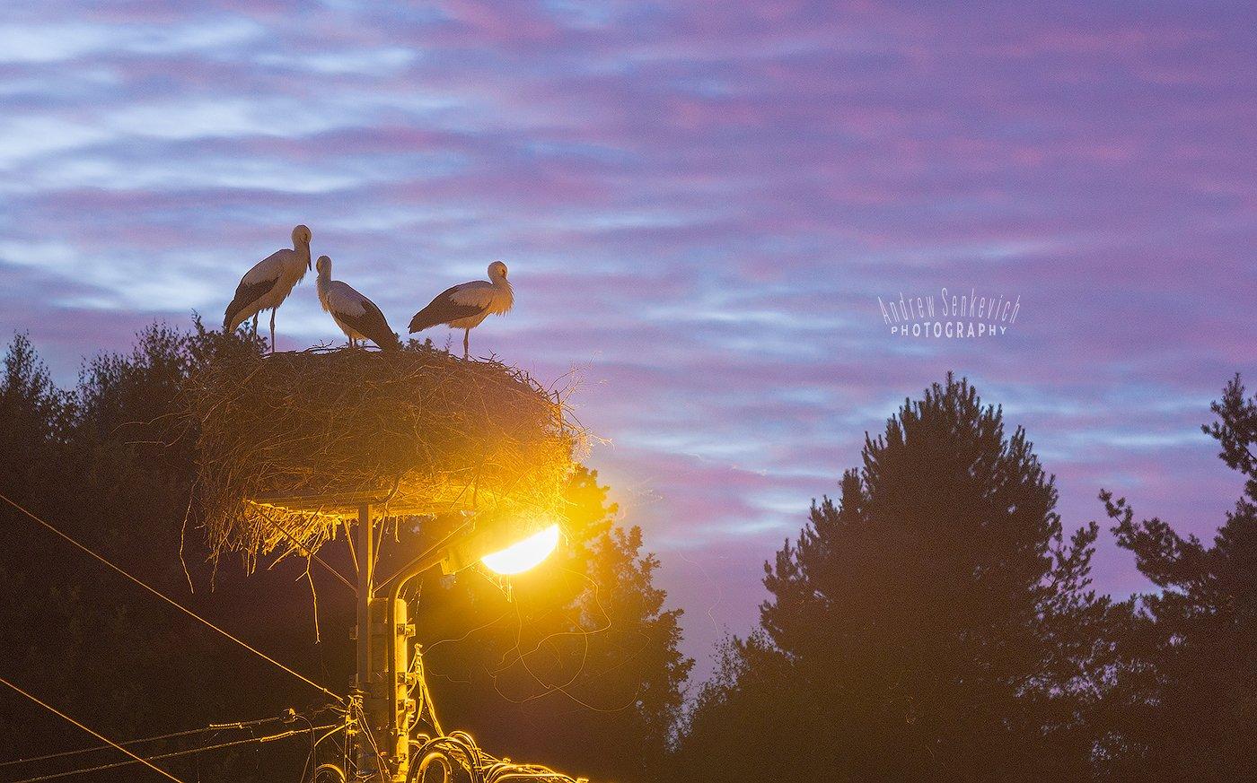 дикий, аист, птенцы, закат, вечер, Андрей Сенкевич
