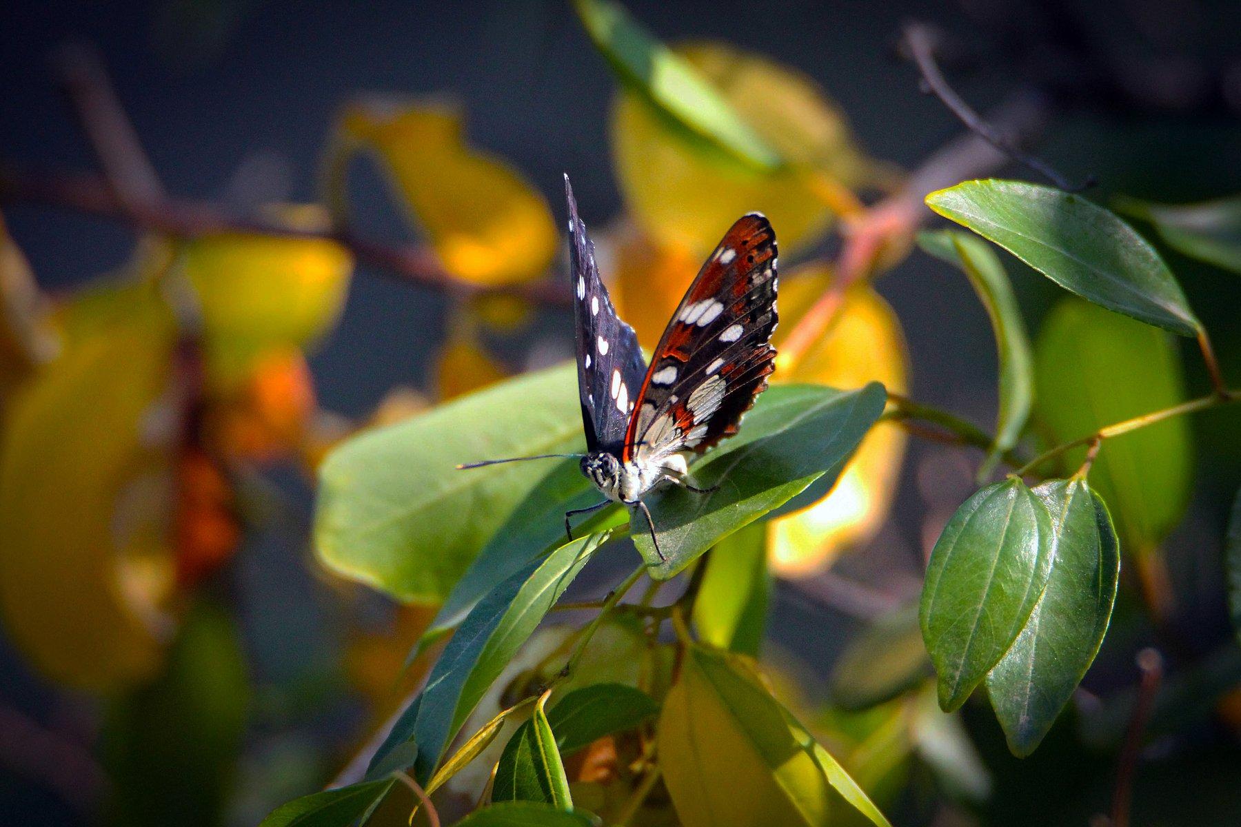 бабочка,насекомые,фауна, Марат Магов